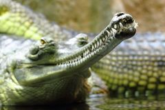 Detail of alligator head Royalty Free Stock Images