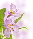 Detail of alstroemeria lily Stock Photos