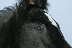 Detail of amazing black arabian horse in winter. Detail of amazing young black arabian horse foal in winter Stock Photo