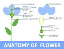 Detail of anatomy flower. Infographics anatomy of a flower. Structures in cross section. In the flat style Royalty Free Stock Photography