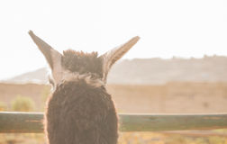 Detail of anonymous lama looking over the fence Royalty Free Stock Images