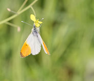 Detail of Anthocharis cardamines butterfly (farfalla aurora). In a meadow Royalty Free Stock Photography