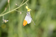 Detail of Anthocharis cardamines butterfly (farfalla aurora). In a meadow Stock Photos