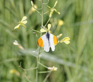 Detail of Anthocharis cardamines butterfly (farfalla aurora). In a meadow Stock Images
