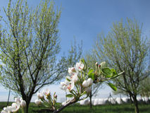 Detail of apple tree blossom with trees and sky in background Stock Photos