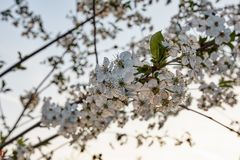 Detail of apple tree or cherry tree flowers at sunset Royalty Free Stock Photography