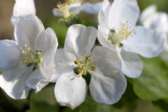 Detail of the Apple Tree Flower in the spring Garden Stock Photography
