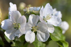 Detail of the Apple Tree Flower in the spring Garden Stock Images