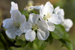 Detail of the Apple Tree Flower in the spring Garden Royalty Free Stock Photography