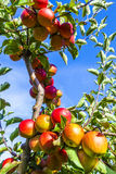 Detail of Apple Tree with Plenty of Apples Royalty Free Stock Photo