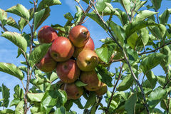 Detail of Apple Tree with Plenty of Apples Royalty Free Stock Photos