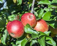Detail of Apple Tree with Plenty of Apples Stock Photography