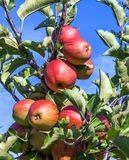 Detail of Apple Tree with Plenty of Apples Stock Image