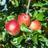 Detail of Apple Tree with Red Apples Royalty Free Stock Photo