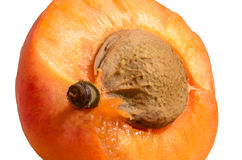 Detail of apricot core Royalty Free Stock Photo