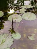 Detail of aquatic plant of the nucifera type royalty free stock photo