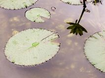 Detail of aquatic plant of the nucifera type stock photo