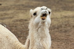 Arabian camel Stock Photography