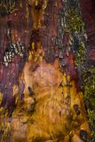 Detail of arbutus tree bark texture in Vancouver Island forest royalty free stock photo