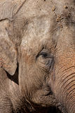 Detail of an Asian Elephant Stock Images