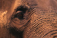 Detail of asian elephant. The detail of asian elephant head Royalty Free Stock Images