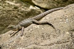 Detail of Australian water dragon in the natur.In Australia. Detail of Australian water dragon in the natur royalty free stock image