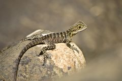 Detail of Australian water dragon in the natur. In Australia stock photography