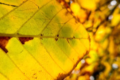 Detail of autumn chestnut Royalty Free Stock Photos