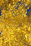 Detail, Autumn, golden aspens Royalty Free Stock Photography