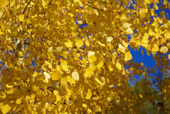 Detail, Autumn, golden aspens Stock Image