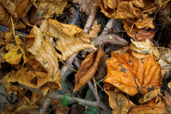 Detail of autumn leaves Royalty Free Stock Photography