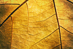 Detail of autumn textured leaf Royalty Free Stock Images