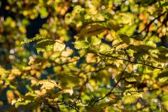 Detail of autumnal beech leaves on blurred background Stock Images