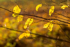 Detail of autumnal beech leaves on blurred background Royalty Free Stock Images