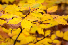 Detail from autumnal forest with yellow beech leaves Royalty Free Stock Photos