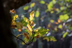 Detail of autumnal oak leaves on blurred background Stock Image