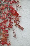 Detail of autumnal red ivy on painted wall. Leaves on white plaster background in Autumn Stock Image