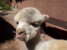 Detail of baby lama Royalty Free Stock Photo