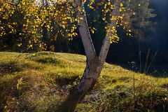 Detail of back lighted birch tree. With golden leaves, selective focus Royalty Free Stock Photography