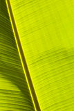 Detail of backlit banana tree leaf Royalty Free Stock Image