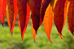 Detail of backlit red autumn leaves Royalty Free Stock Image
