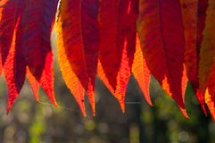 Detail of backlit red autumn leaves Stock Photo