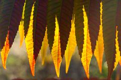 Detail of backlit yellow autumn leaves Stock Image