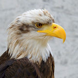 Detail of Bald Eagle (haliaeetus leucocephalus) Royalty Free Stock Photo