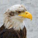 Detail of Bald Eagle (haliaeetus leucocephalus). Detail of Bald Eagle (lat. haliaeetus leucocephalus Royalty Free Stock Photo
