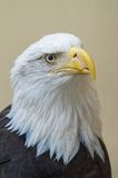 Detail of bald eagles head Royalty Free Stock Photography