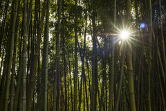Detail of bamboo forest. Bamboo forest panoramic with sun through the stalks Royalty Free Stock Images