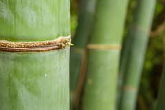 Detail of bamboo forest stalk with different green and yellow hu Royalty Free Stock Photography