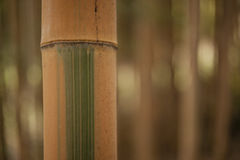 Detail of bamboo forest stalks Stock Photography