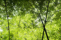 Detail of bamboo  tree branches Royalty Free Stock Photo